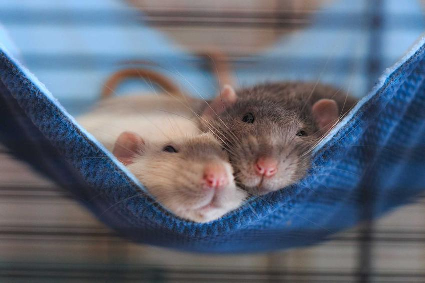 Szczury leżące na hamaku w klatce, a także jak zrobić hamak dla szczurów, zastosowanie oraz samodzielne zrobienie