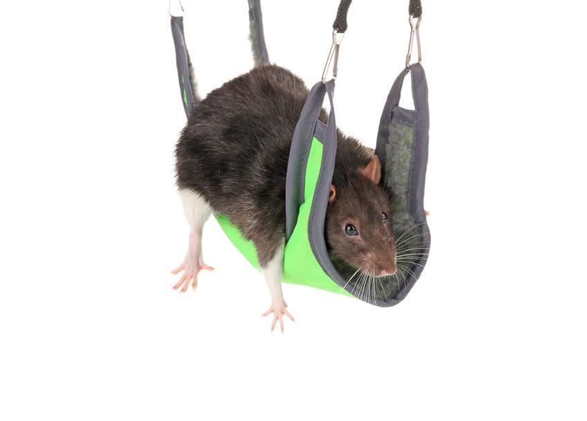 Hamak dla szczura do zawieszenia w klatce, a także jak zrobić hamak dla szczura krok po kroku i zastosowanie