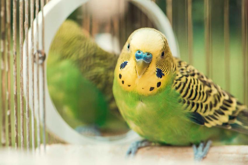 Papużka falista o zielonych piórkach przy lusterku w klatce, a także zdjęcia, opis, usposobienie i wymagania