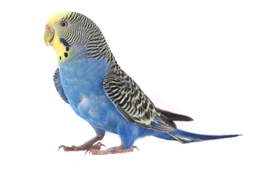 Papużka falista o niebieskim upierzeniu, a także opis charakteru i usposobienia, wymagania, wygląd oraz pielęgnacja