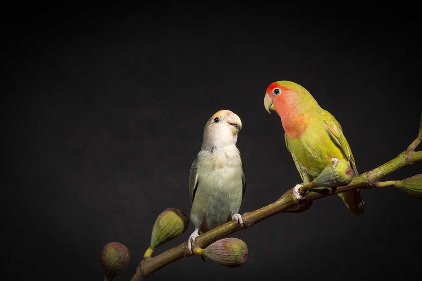 Papużki nierozłączki na drążku, a także wymagania, hodowla, usposobienie oraz żywienie