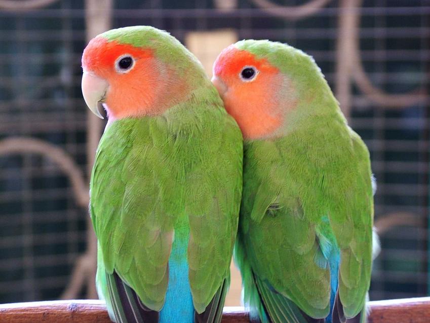 Papużki nierozłączki o zielonych piórkach w klatce, a także zdjęcia, żywienie, wymagania, hodowla, usposobienie