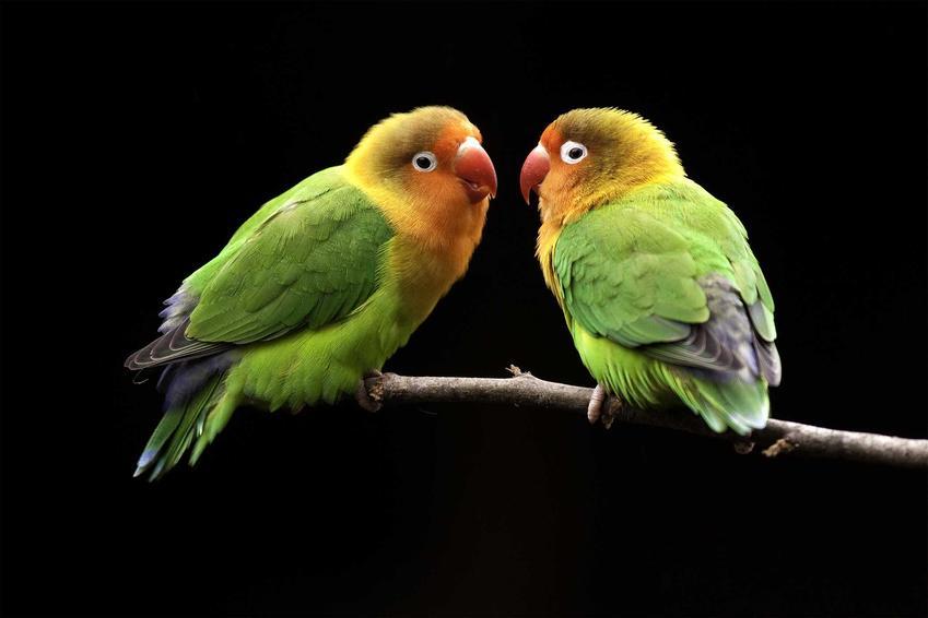 Papużki nierozłączki na drążku, a także cena papużek nierozłączek oraz koszt hodowli ptaków w domu