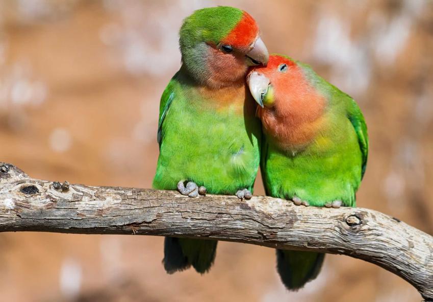 Papużki nierozłączki o zielonym upierzeniu na gałęzi, a także ceny papużek nierozłączek oraz koszt hodowli ptaków