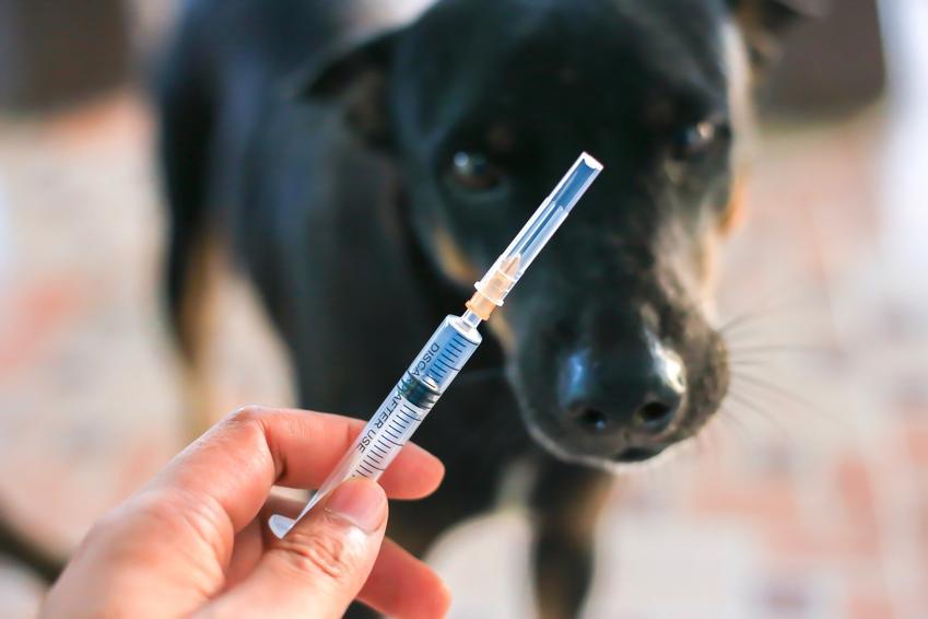 Pies u weterynarza oraz strzykawka, czyli kalendarz szczepień psa krok po kroku