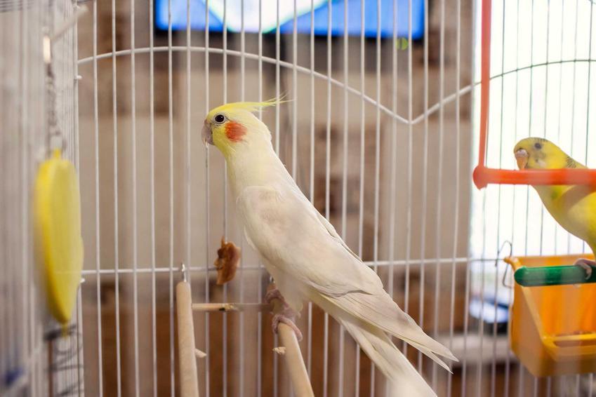 Papuga Nimfa w klatce oraz wyposażenie klatki, rodzaje, cena, koszt, urządzenie
