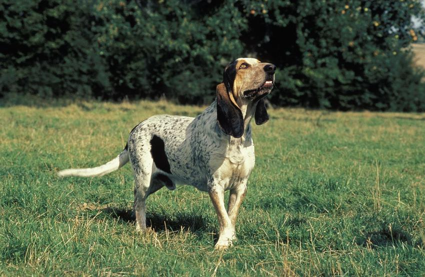 Pies rasy mały gończy gaskoński na trawniku, a także jego charakter, wychowanie i cena