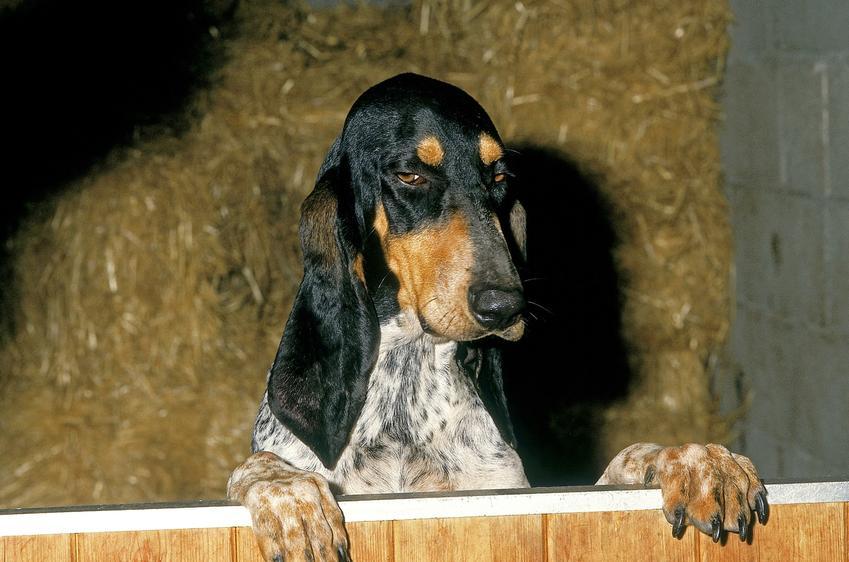 Pies rasy mały gończy gaskoński na łonie natury, a także jego charakter, hodowla i cena