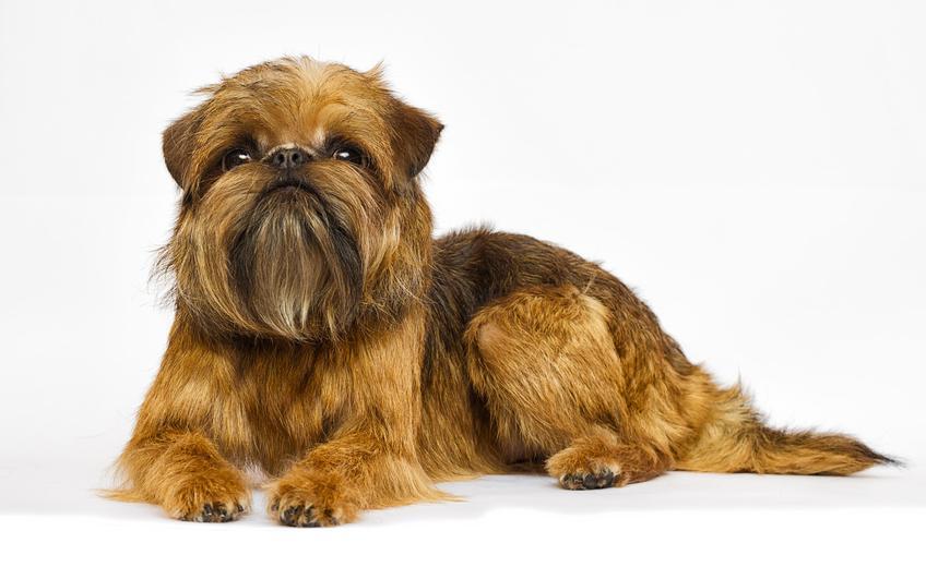 Pies rasy gryfonik brukselski na białym tle, a także jego charakter, wychowanie i cena