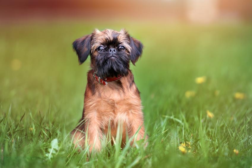 Pies rasy gryfonik brukselski na trawniku, a także jego charakter, hodowla i cena