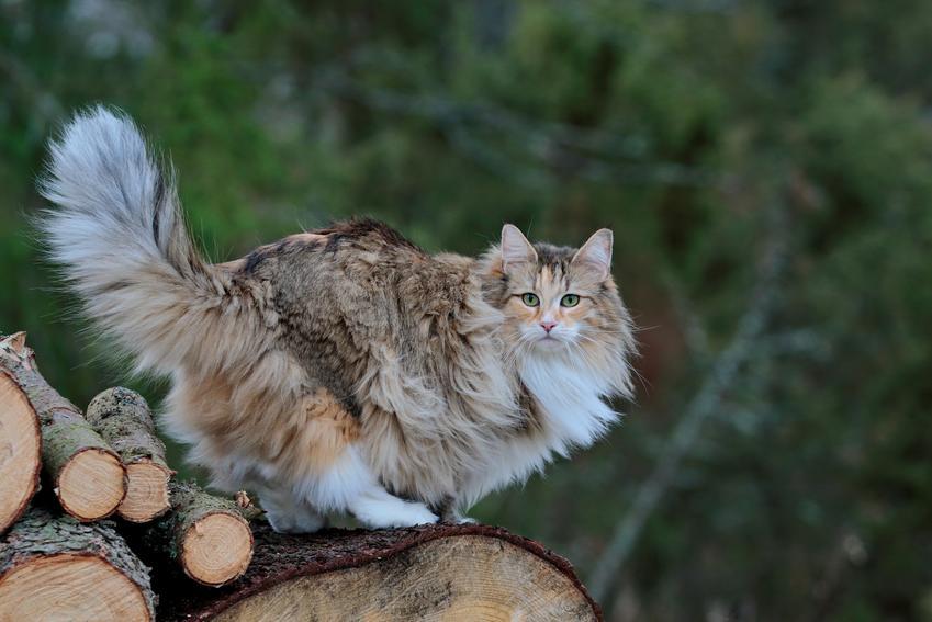 Leśny kot norweski w lesie na pieńkach drzew, a także jego cena i charakterystyka