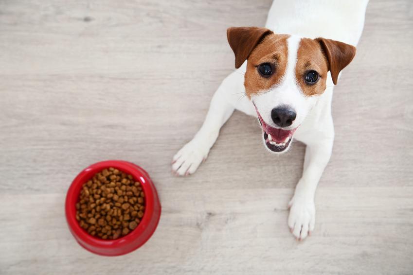 Pies przy misce z karmą, a także karma Orijen dla psa, jej rodzaje i dawkowanie