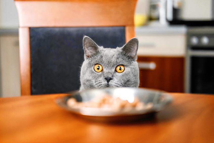 Kot przy misce z karmą, a także karma dla kota Animonda Vom Feinsten, jej skład i dawkowanie