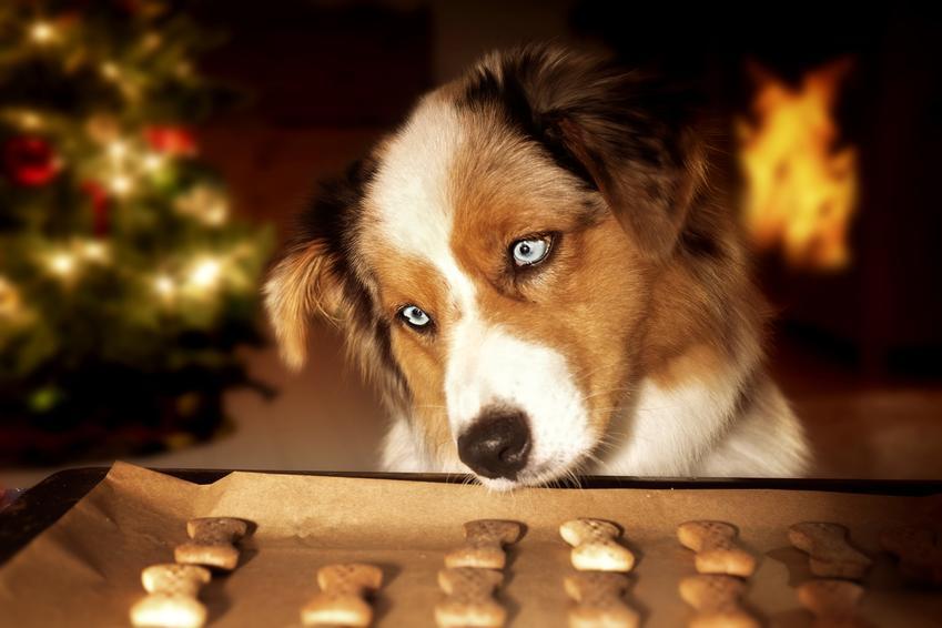 Pies przy blaszcze z ciastkami, a także polecany przepis na ciastka dla psa krok po kroku