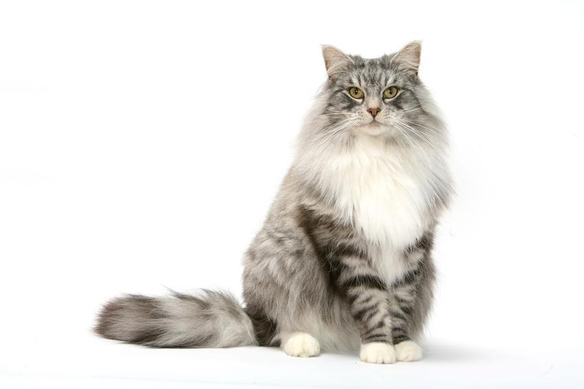 Norweski kot leśny na białym tle, a także cena norweskiego kota leśnego z rodowodem