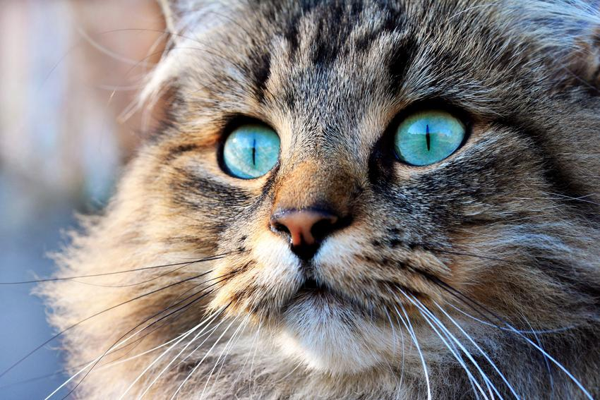 Norweski kot leśny z niebieskimi oczami, a także cena norweskiego kota leśnego z rodowodem
