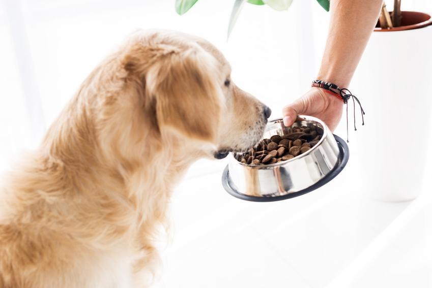 Pies jedzący z miski, a także karma weterynaryjna dla psa, jej skład, właściwości i dawkowanie