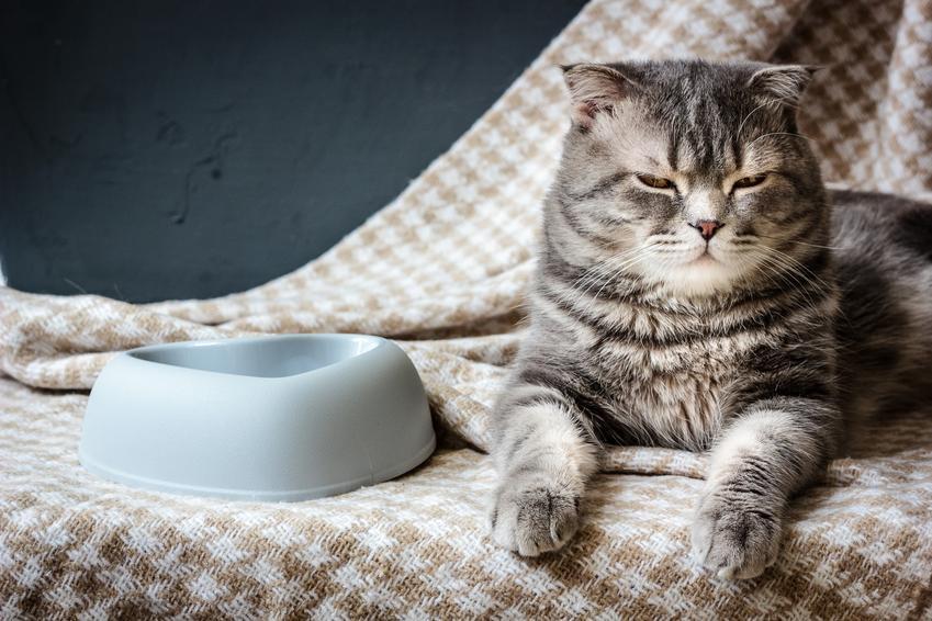 Kot obok pustej miski oraz dla karma dla kota Royal Canin Sterilised, jej rodzaje, cena i skład