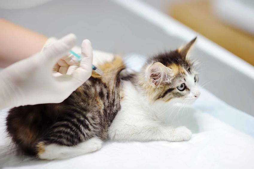 Szczepienie kota w gabinecie u weterynarza, a także terminy, rodzaje szczepień i ceny