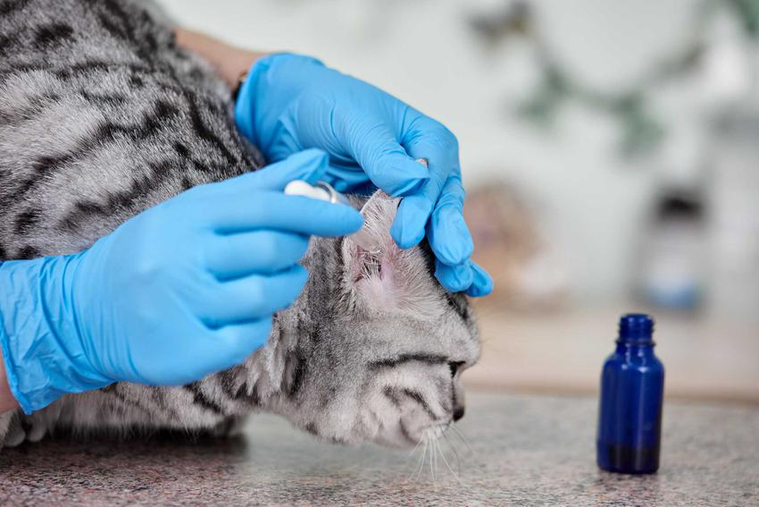 Krople dla kota na odrobaczanie podawane w gabinecie u weterynarza, a także rodzaje kropli, ceny i zastosowanie