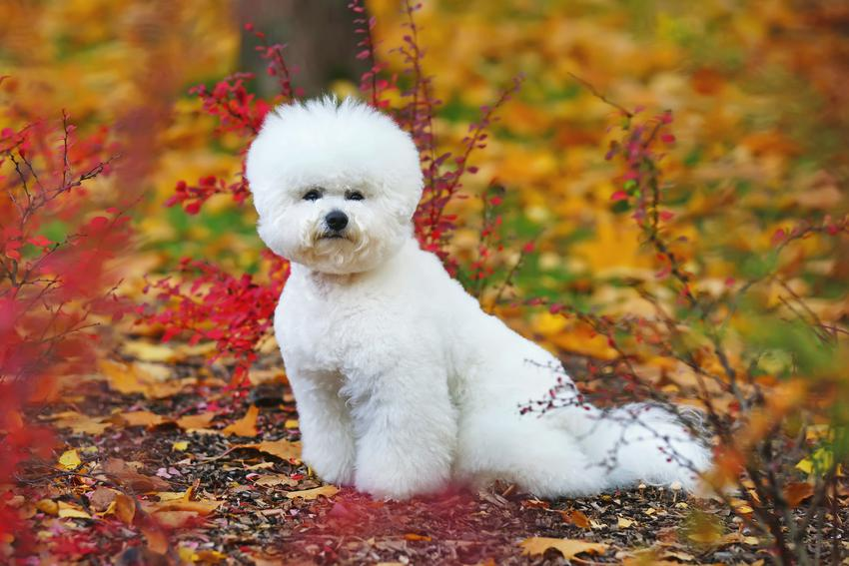 Pies bichon frise w parku na tle jesiennych liści, a także jego charakter, opinie i cena