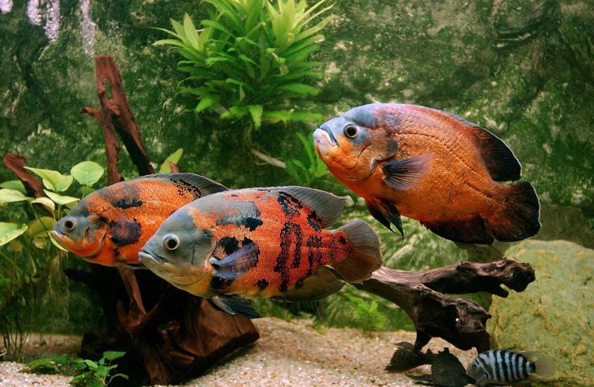 Pielęgnice pawiookie w akwarium, a także opis, usposobienie, wymagania, porady akwarystów, wygląd
