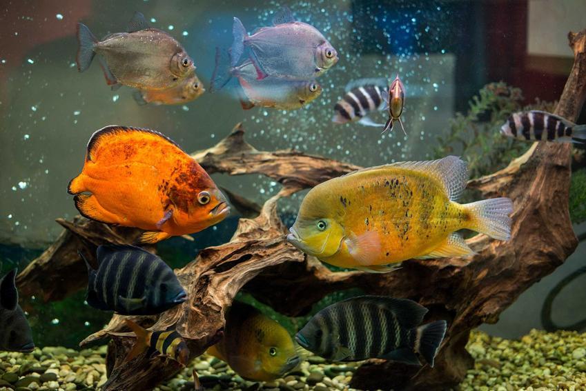 Pielęgnice w akwarium, a także porady, gatunki, pielęgnacja i wymagania
