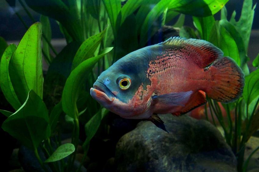 Pielęgnica w czerwonym kolorze w akwarium na tle roślinek, a także wymagania, porady, gatunki, pielęgnacja