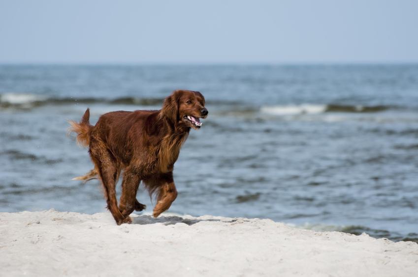 Pies rasy wyżeł irlandzki na plaży, a także jego charakter, wychowanie, opis i cena