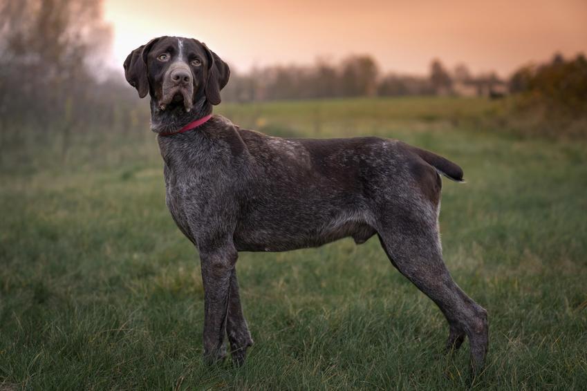 Pies rasy wyżeł myśliwski na łonie natury, a także jego charakter, wychowanie, opis i cena