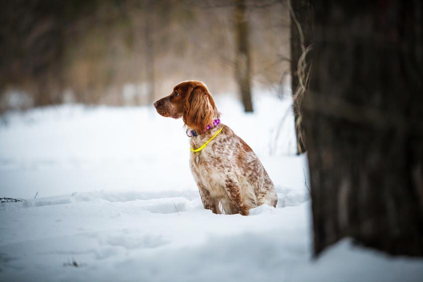 Pies rasy wyżeł rosyjski na śniegu, a także jego charakter, wychowanie, opis i cena