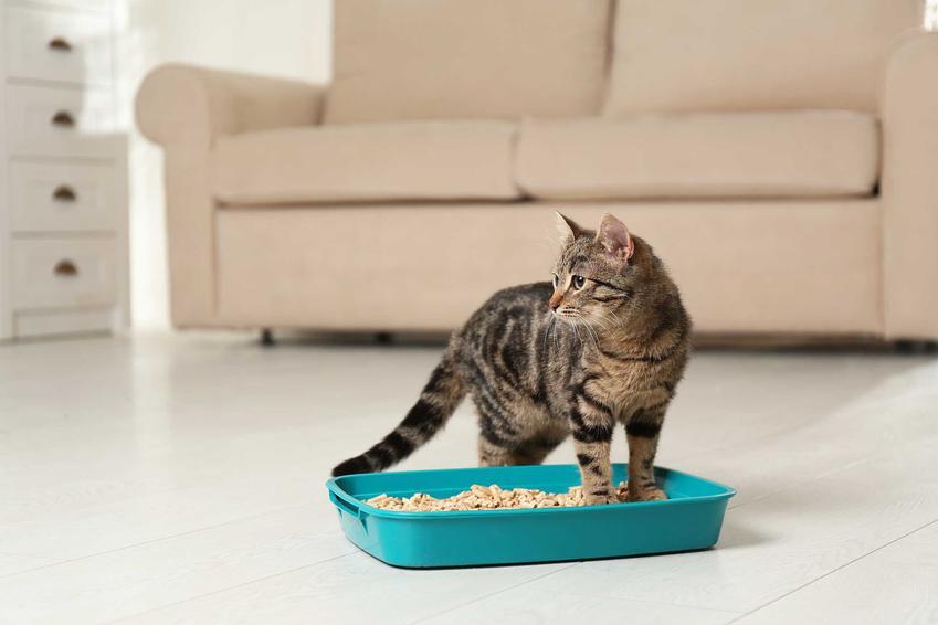 Kot stojący przy kuwecie wypełnionej żwirkiem Benek, a także rodzaje, opinie, porady i ceny
