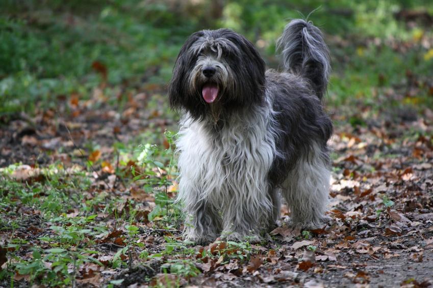 Pies rasy Schapendoes na łonie natury, a także jego charakter, hodowla, wychowanie i cena za szczeniaki