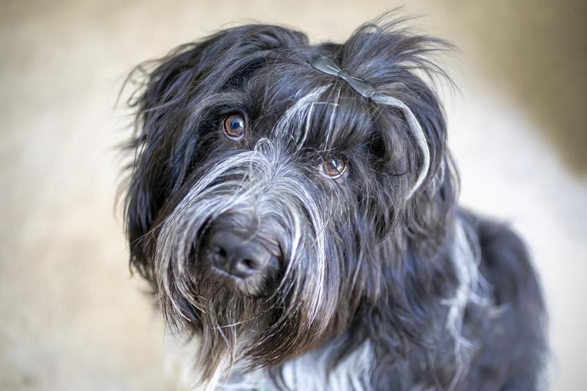 Pies rasy Schapendoes na zdjęciu portretowym, a także jego charakter, cena, usposobienie i hodowla