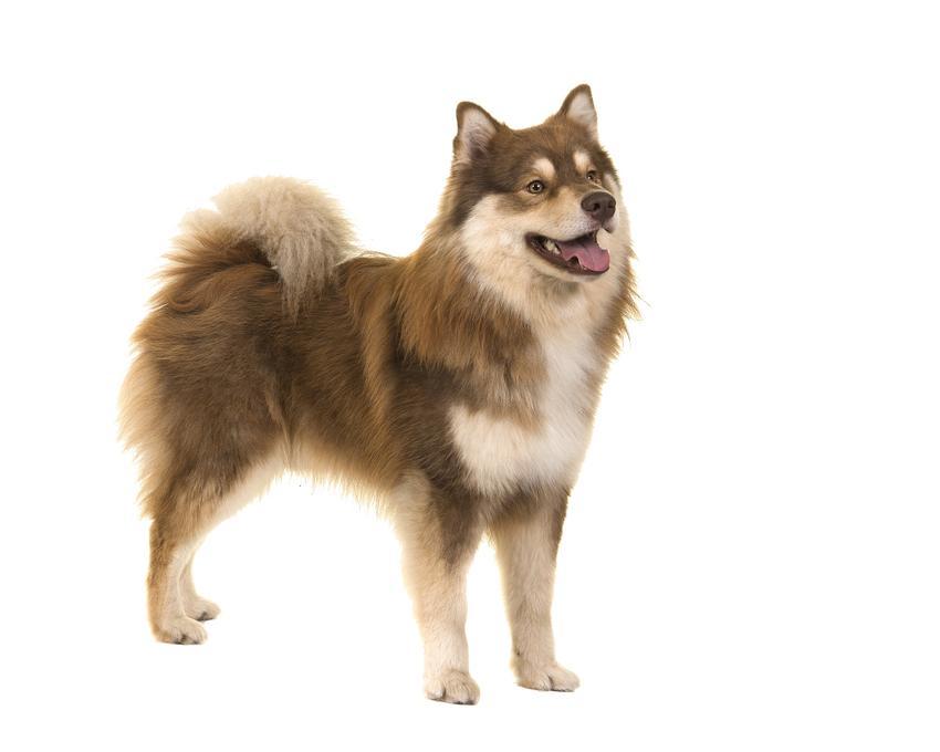 Pies rasy Suomenlapinkoira (fiński lapphund) na białym tle, a także jego charakter, hodowla, wychowanie i cena za szczeniaki
