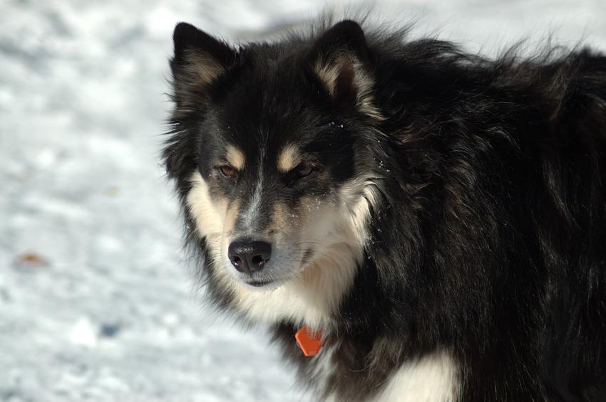 Pies rasy Suomenlapinkoira (fiński lapphund)na zdjęciu portretowym, a także jego charakter, cena, usposobienie i hodowla