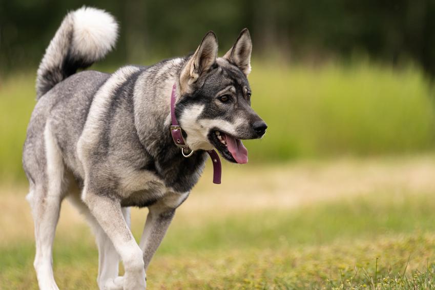 Pies rasy Jämthund na łonie natury, a także jego charakter, cena, usposobienie i hodowla