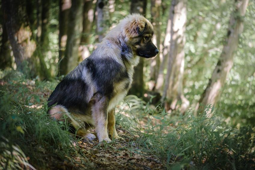 Pies rasy owczarek kraski na łonie natury, a także jego charakter, hodowla, wychowanie i cena za szczeniaki