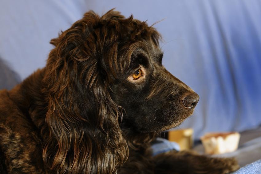 Pies rasy Boykin spaniel na zdjęciu portretowym, a także jego charakter, cena, usposobienie i hodowla