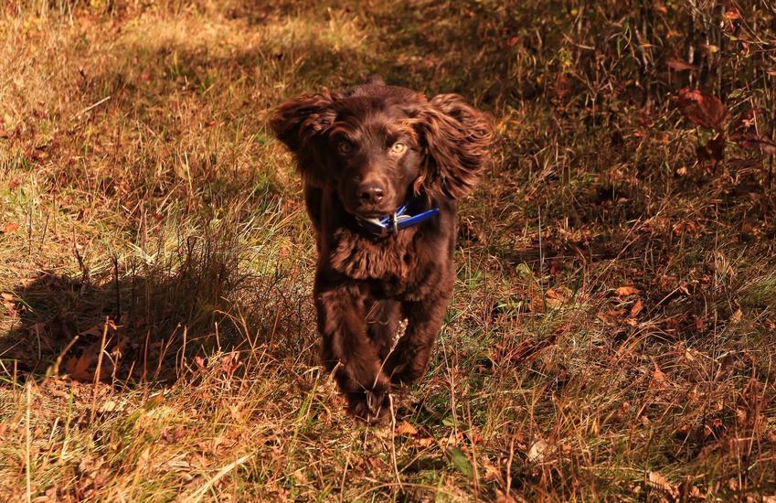 Pies rasy Boykin spaniel na łonie natury, a także jego charakter, hodowla, wychowanie i cena za szczeniaki