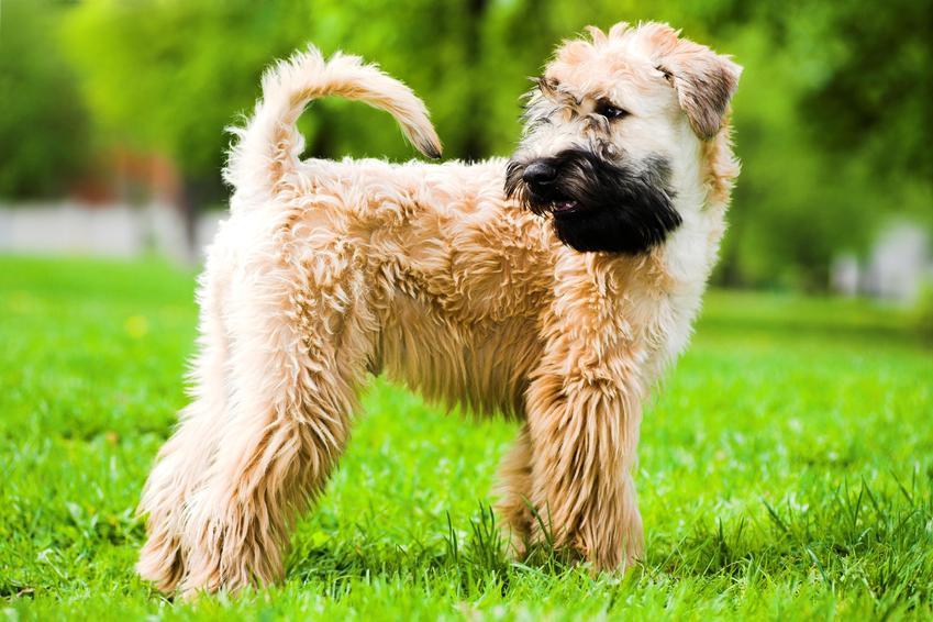 Pies rasy Irish soft coated wheaten terrier na tle zieleni, a także jego charakter, cena, usposobienie i hodowla
