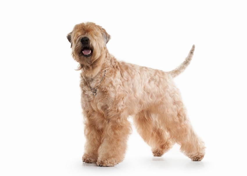 Pies rasy Irish soft coated wheaten terrier na białym tle, a także jego charakter, hodowla, wychowanie i cena za szczeniaki