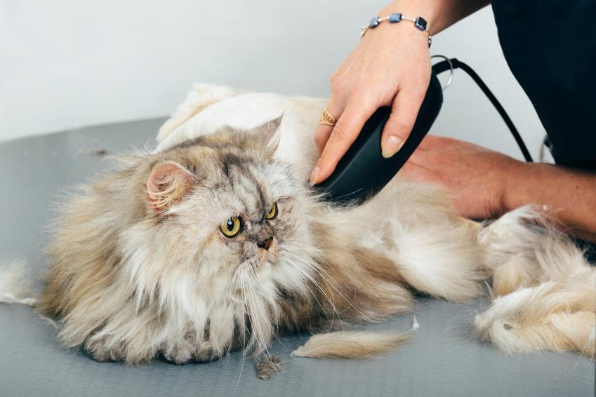 Kot podczas strzyżenia trymerem, a także poelcany trymer dla kota długowłosego i krótkowłosego
