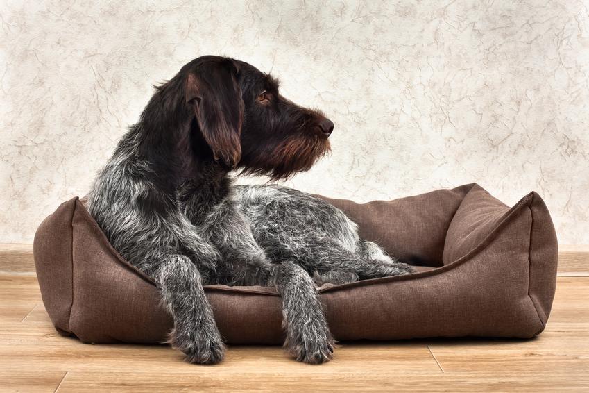 Pies leżący na posłaniu, a także polecane posłania dla psów, ceny, rodzaje i porady