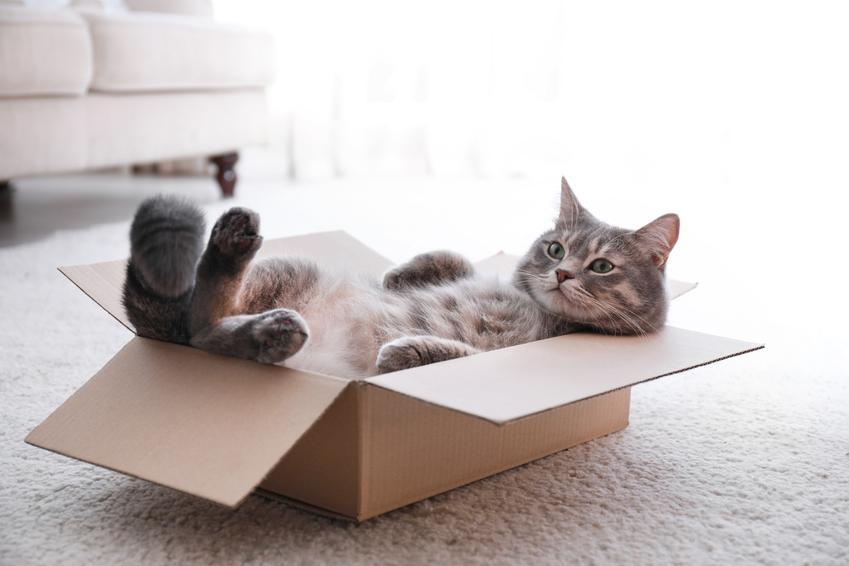 Kot leżący w kartonie w salonie, a także długość życia kota, czyli ile żyją koty