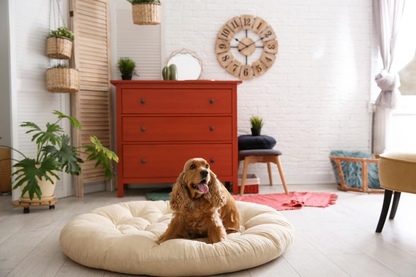 Pies na posłaniu w salonie, a także spanie dla psa, leżanka, posłania, psie legowiska