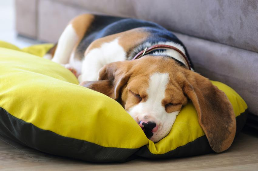 Pies śpiący na legowisku, a także spanie dla psa, leżanka, posłania, psie legowiska