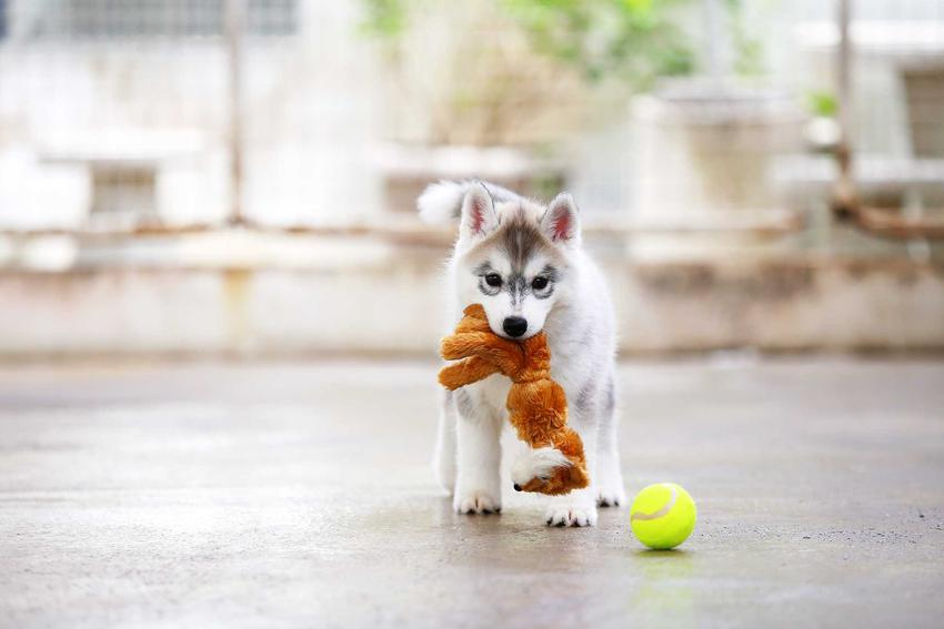 Mały pies niosący w pysku zabawkę i leżąca obok piłka, a także najlepsze zabawki dla małych psów krok po kroku