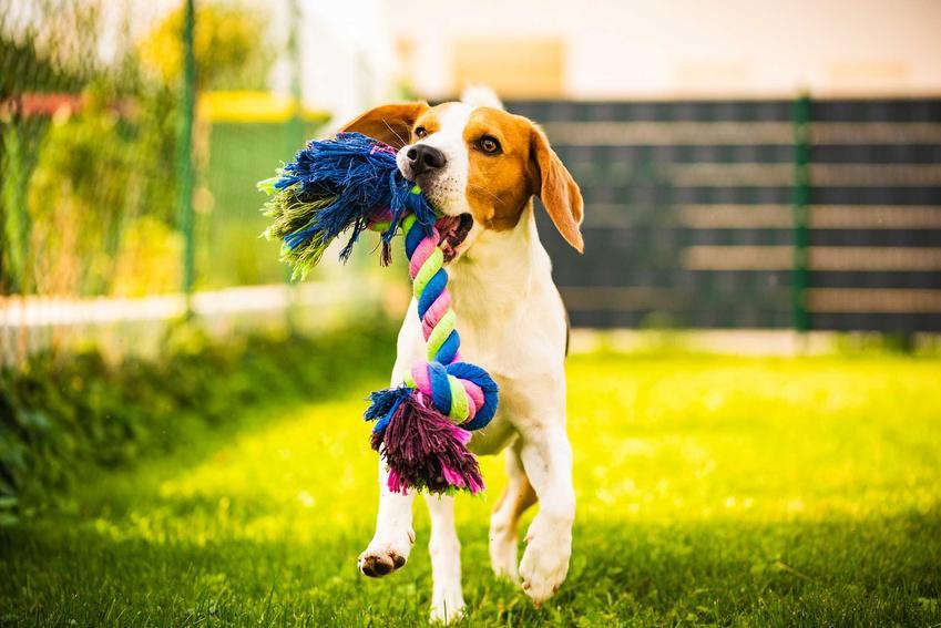 Mały pies niesący w pysku zabawkę szarpak, a także inne zabawki dla małych psów