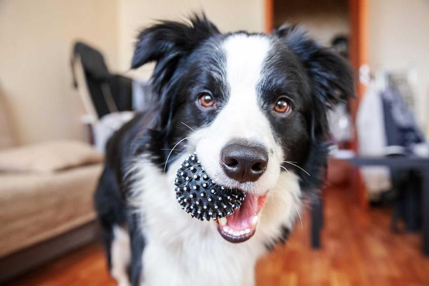 Pies trzymający w pysku piłkę, a także najfajniejsze zabawki dla dużych psów krok po kroku